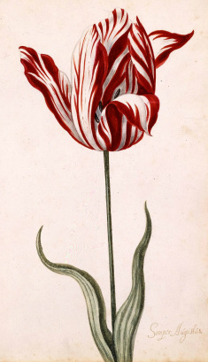 Semper Augustus, one of the most expensive tulip varieties sold in the tulip craze